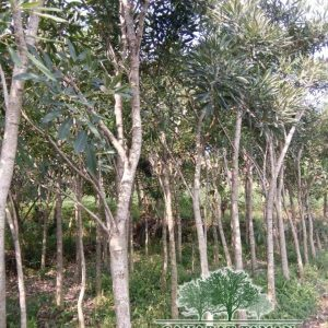 harga pohon tabebuya Tinggi 2-3 Meter