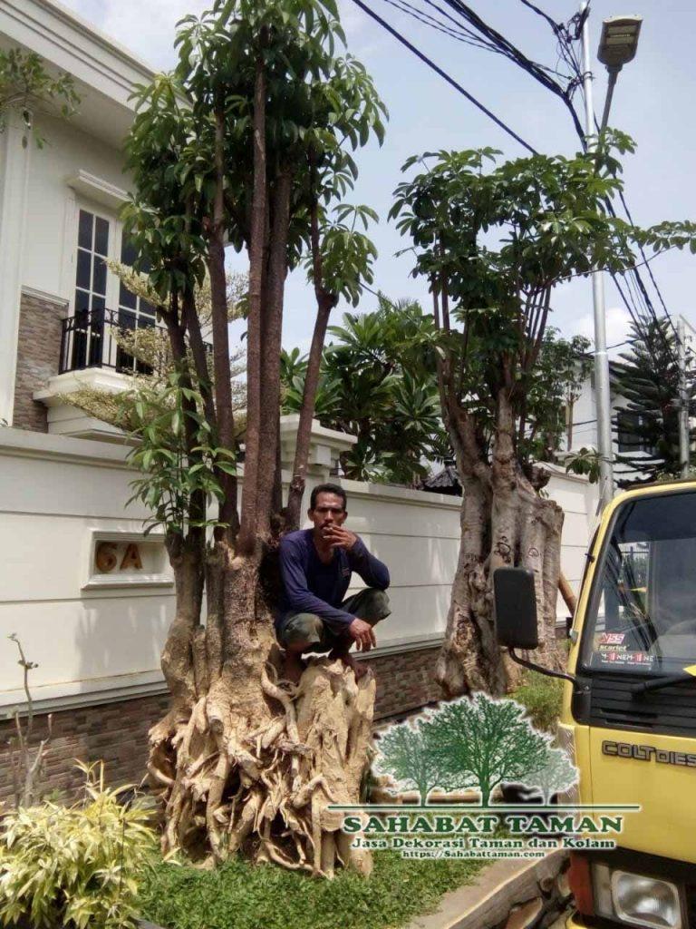 jual pohon pule tinggi 3 meter