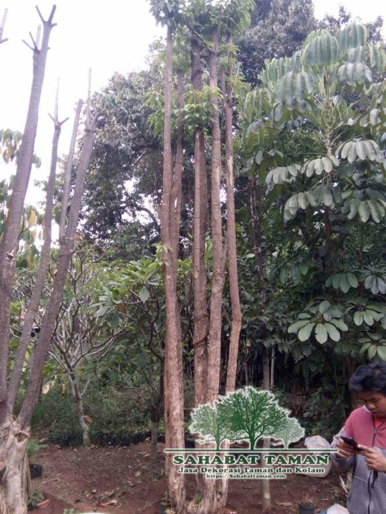 jual pohon pule murah