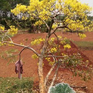 ual pohon tabebuya bunga kuning