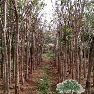 jual pohon tabebuya murah