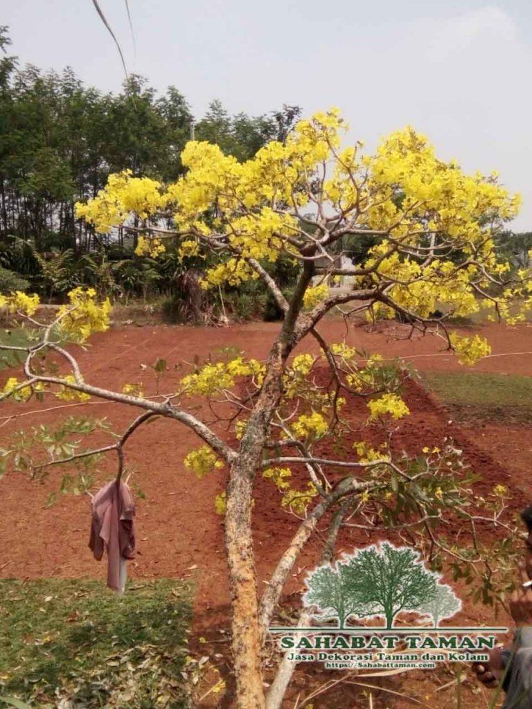 penjual pohon tabebuya bunga kuning