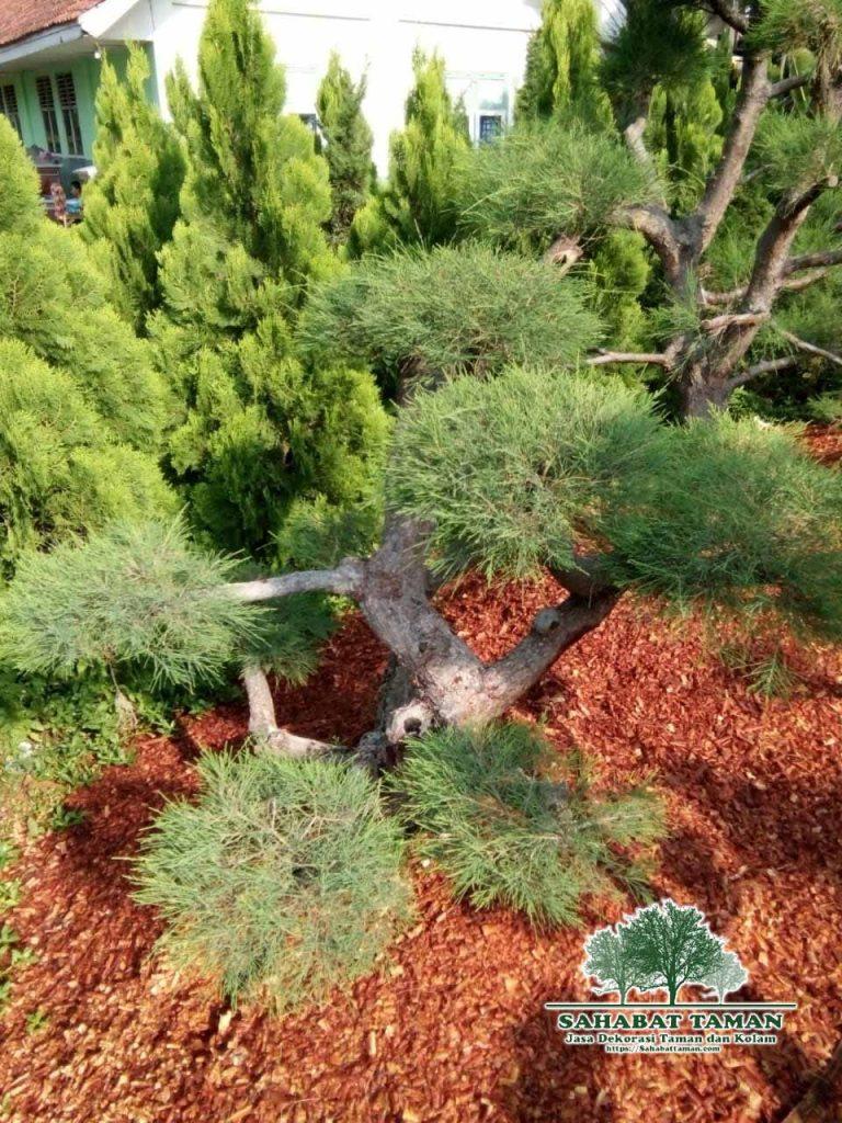 Harga Bonsai Cemara Udang tinggi 1 meter