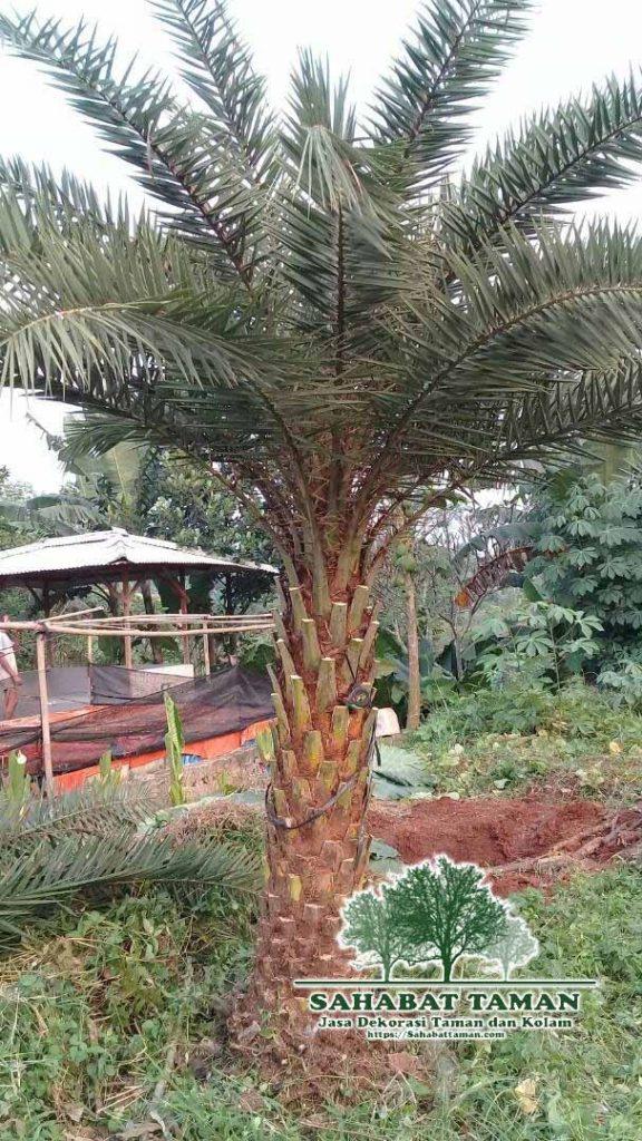 Jual Pohon Palem Kenari