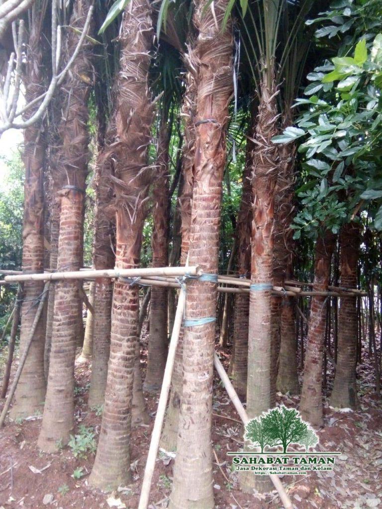 Jual Pohon Palem Sadeng