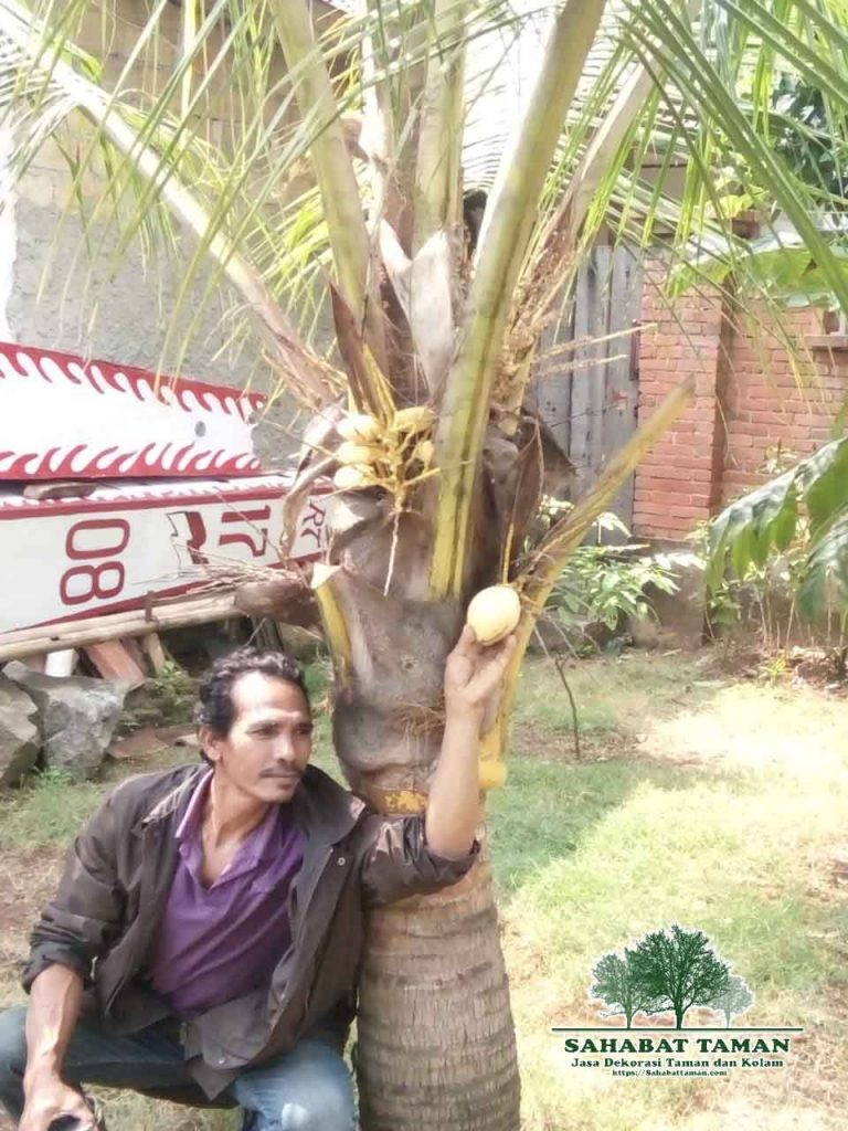 harga pohon kelapa kuning