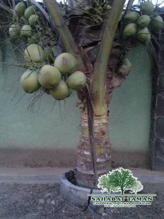 petani pohon kelapa kuning