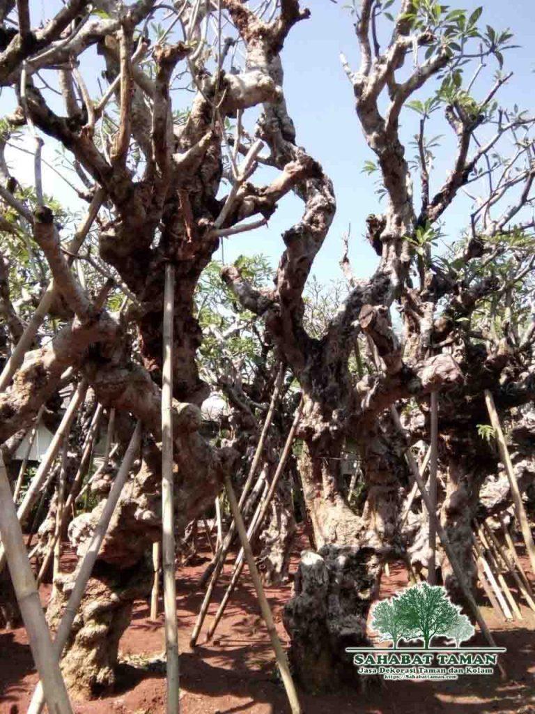 harga pohon kamboja fosil