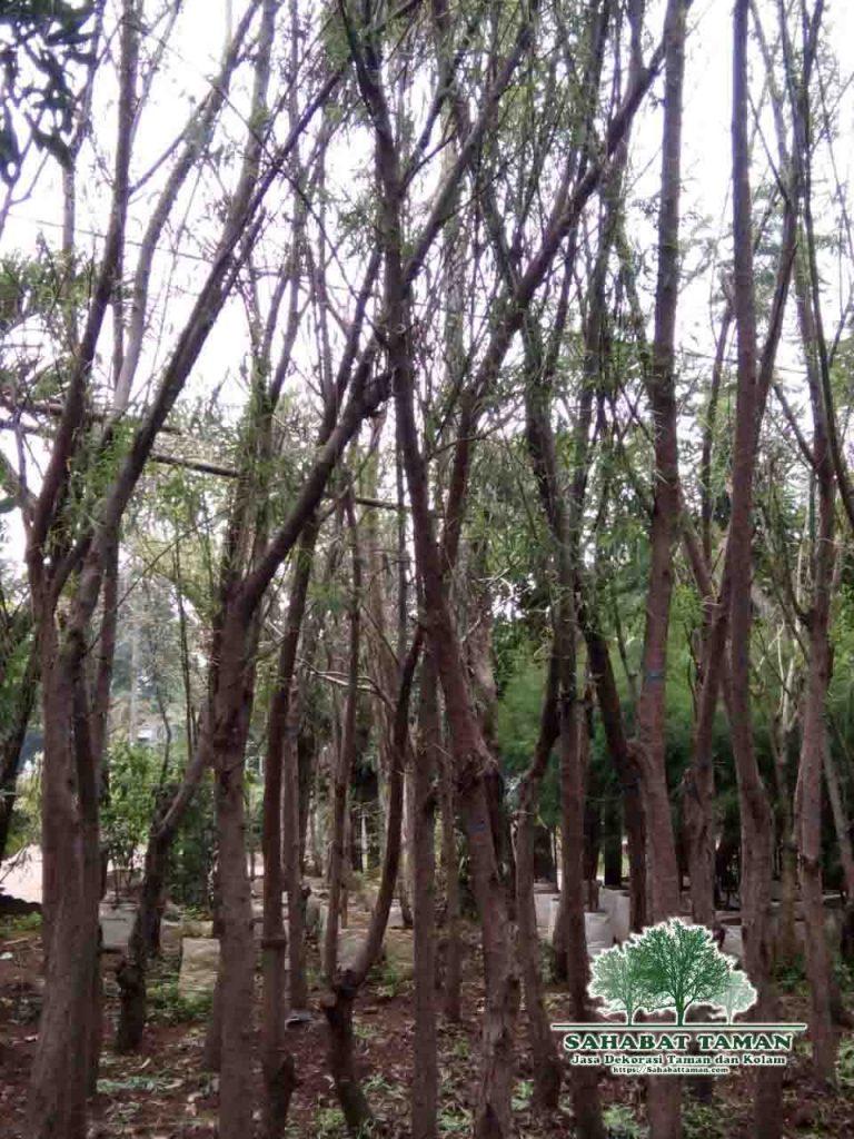 harga pohon liang liu