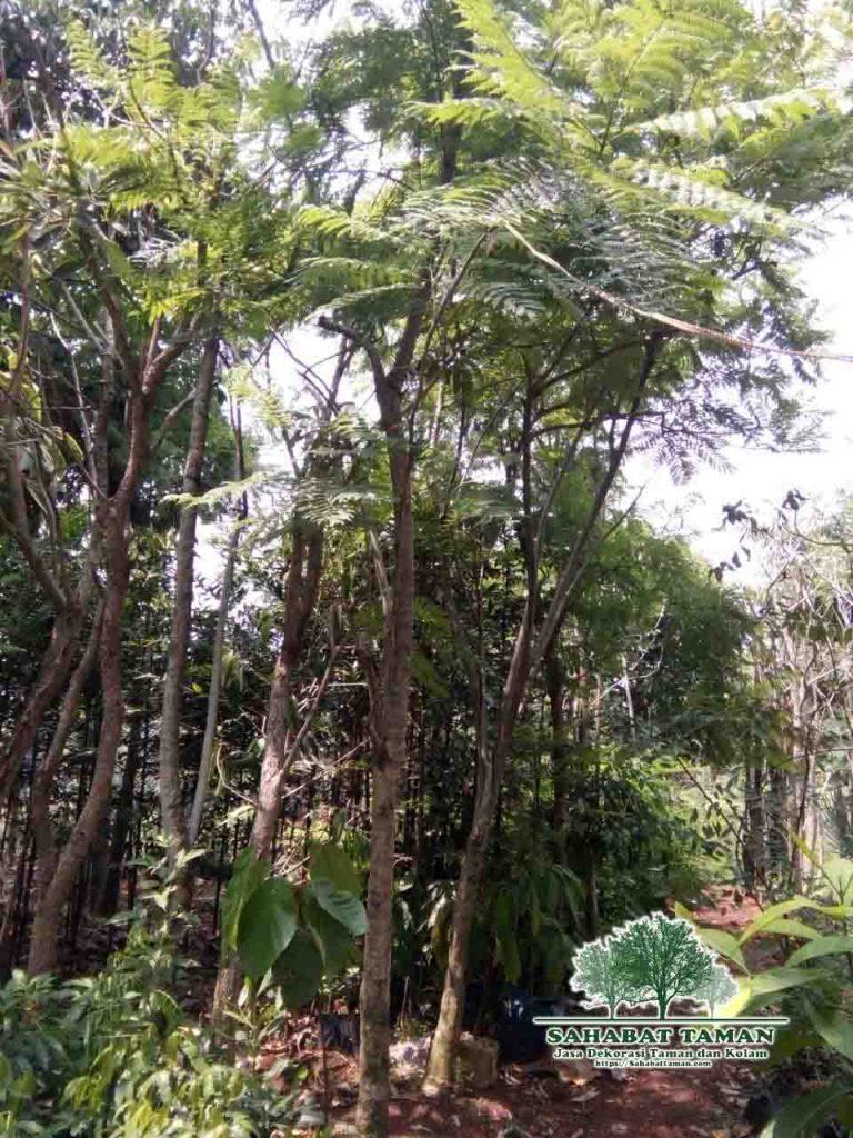 jual pohon jacaranda