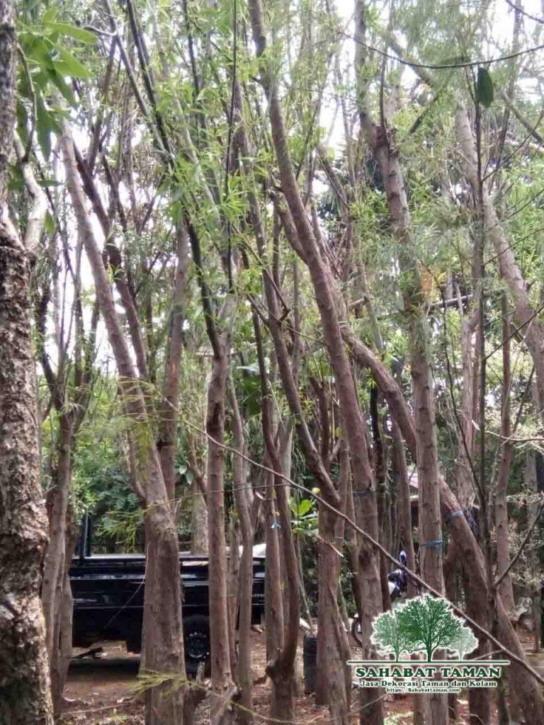 jual pohon liang liu