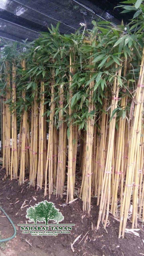 harga pohon bambu kuning