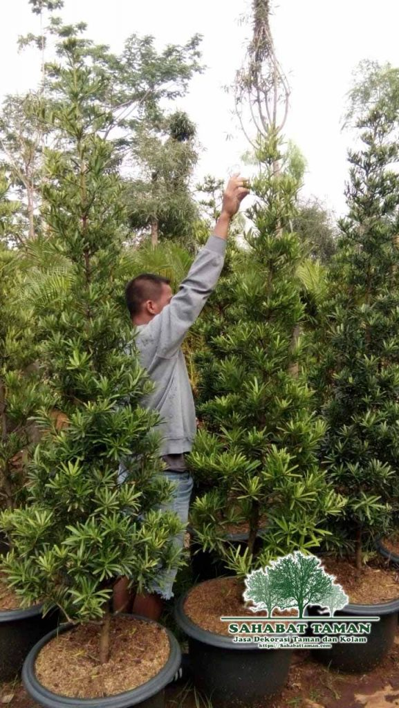 harga pohon lohansung