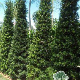 jual pohon lohansung