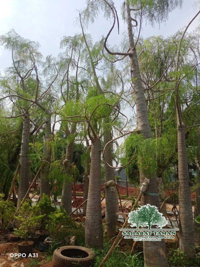 Harga Pohon Kelor Africa