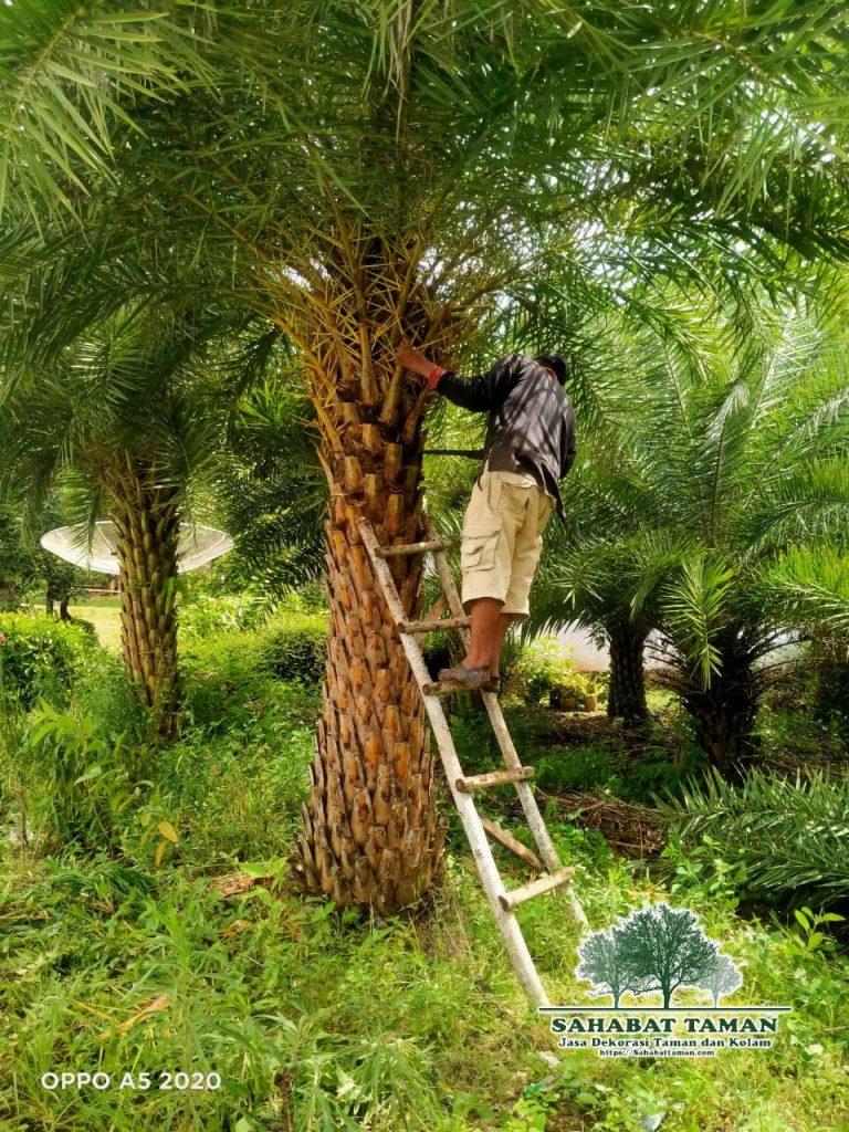 Harga Pohon Palem Kenari