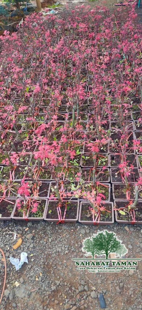 Harga Pohon Red Maple