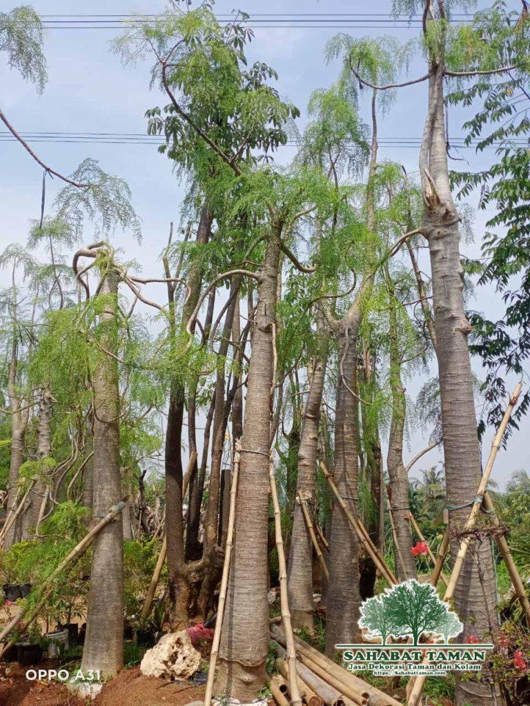 Jual Pohon Kelor Africa