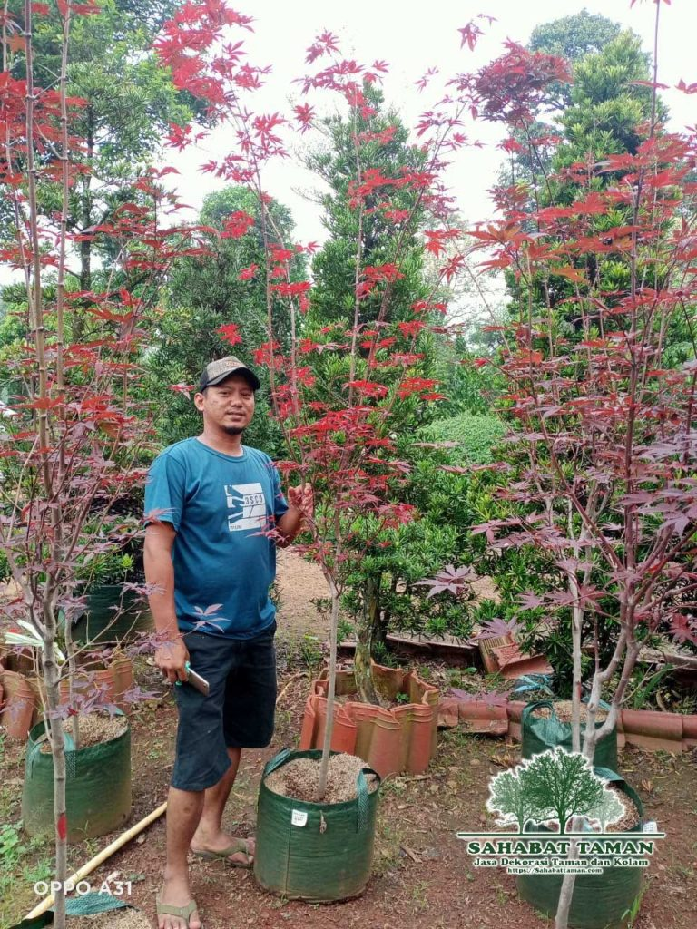 Tukang Pohon Red Maple