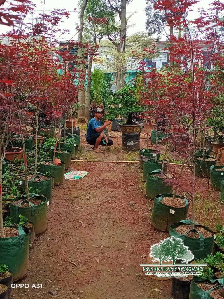 jual pohon japanes maple